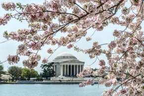 Cherry Blossoms -DC